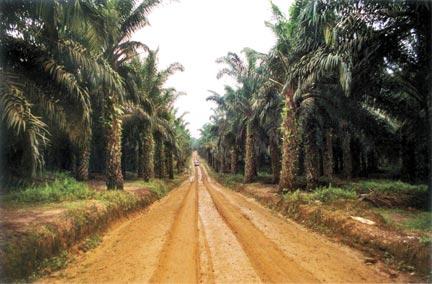plantationdepalmier432.jpg
